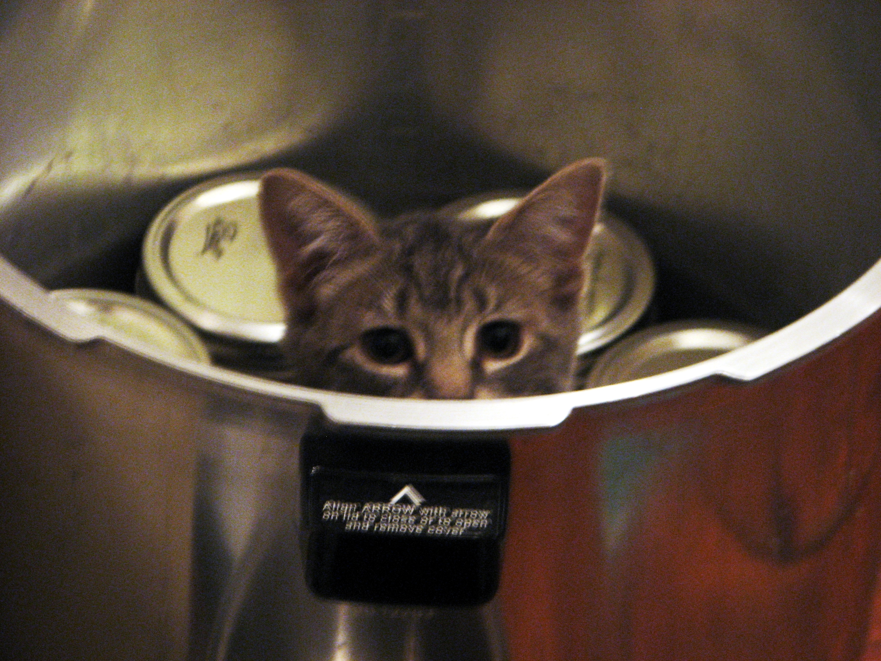A small grey kitten peering over the edge of a large pressure canner in a vaguely menacing way.