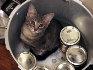 A small grey and cream tabby kitten sitting in a large pressure canner with five pint jars in a circle on the edges staring at the camera. The kitten is staring, not the pint jars.